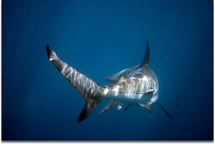 shark-tail